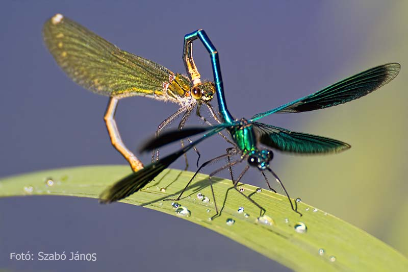 Janos Szabo - Dragonflies with raindrops